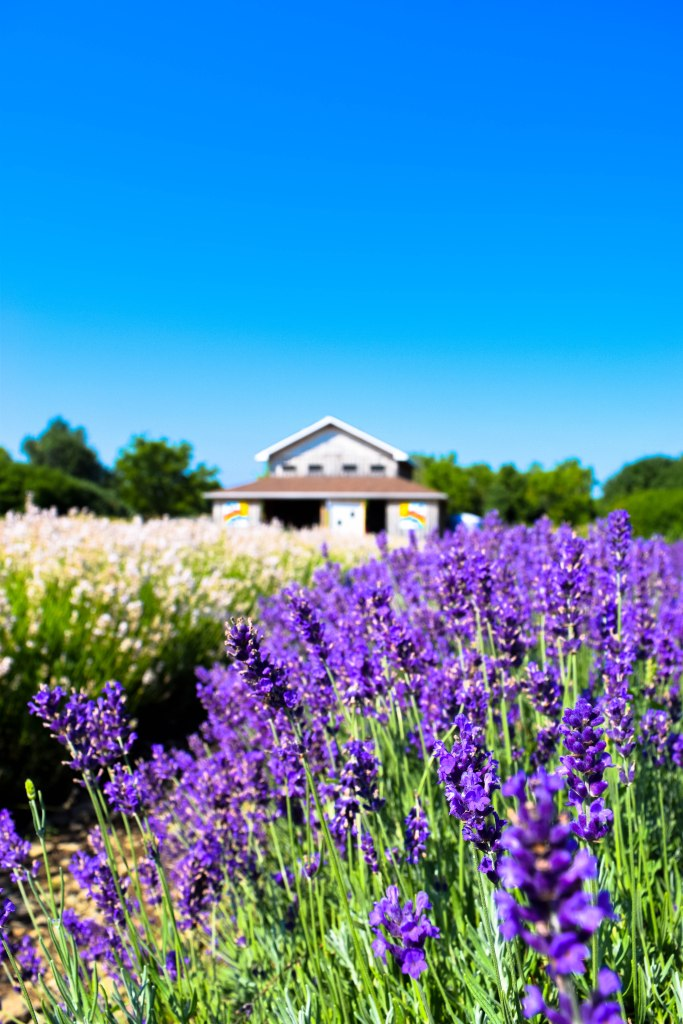 Lavender plant in front of a house on a bright summers day