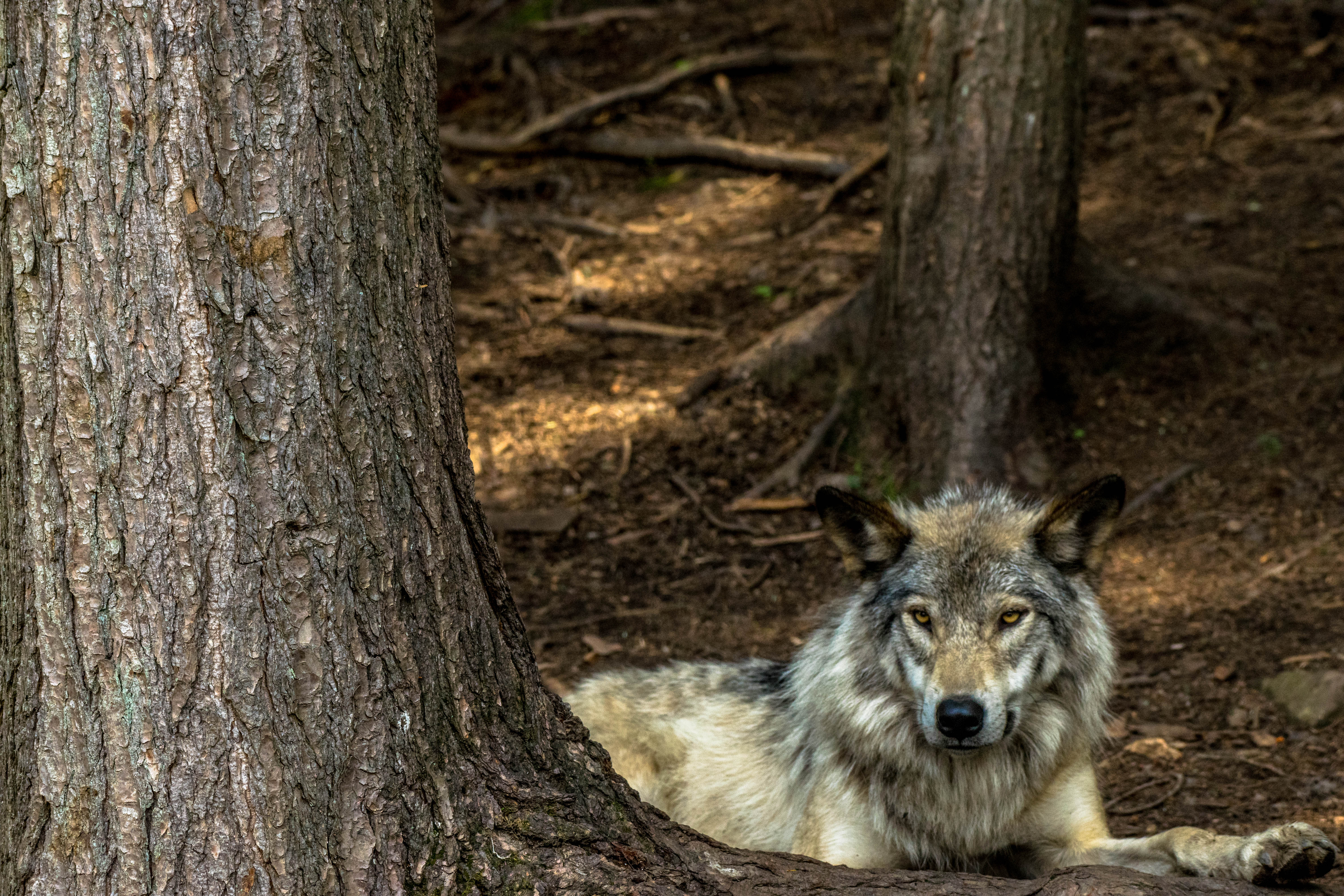 Grey wolf sitting by a tree at Parc Omega
