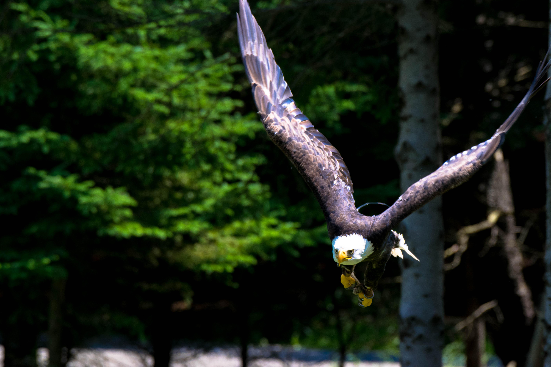 Bald eagle mid flight at Parc Omega
