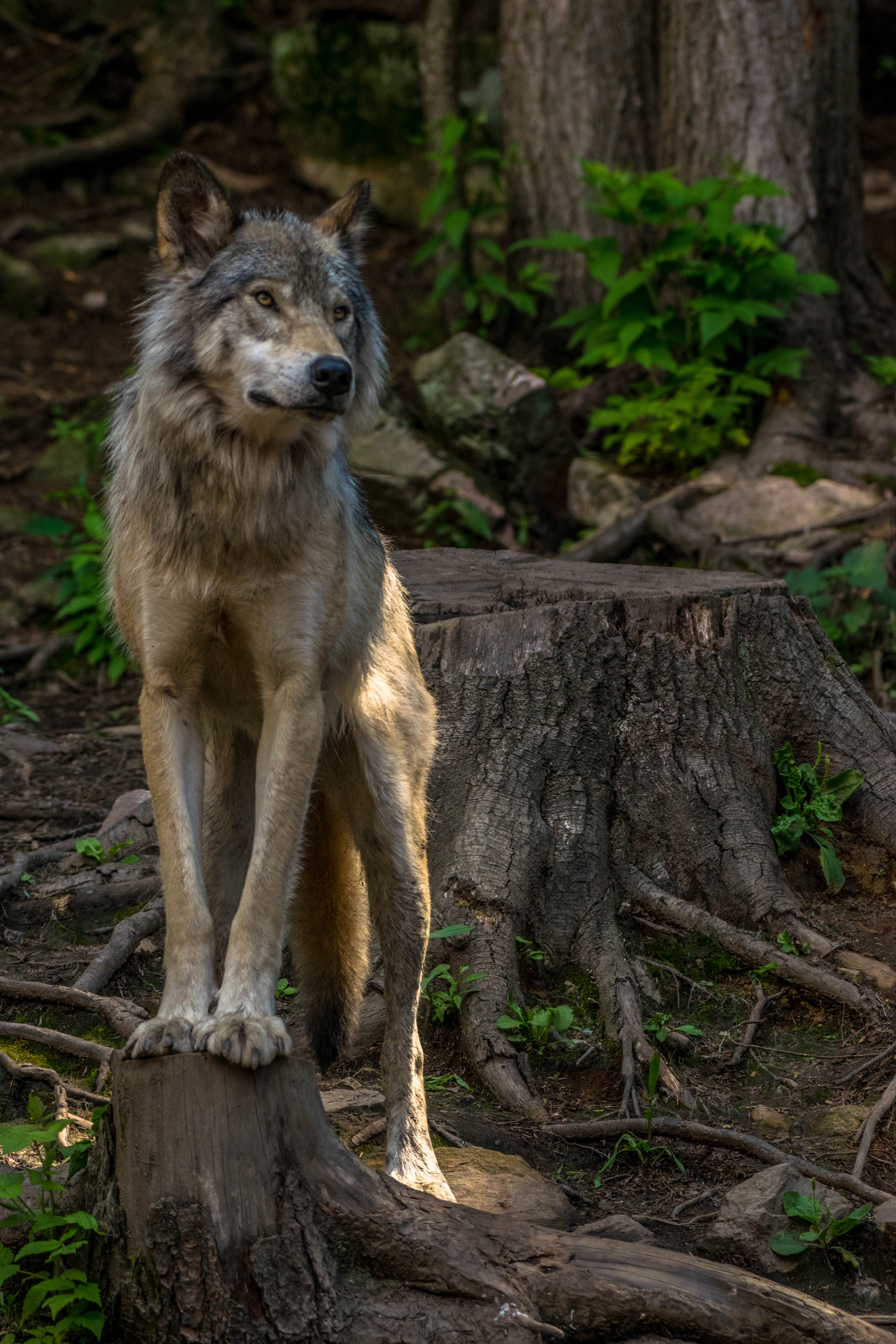 Grey wolf standing on a tree trunk at Parc Omega