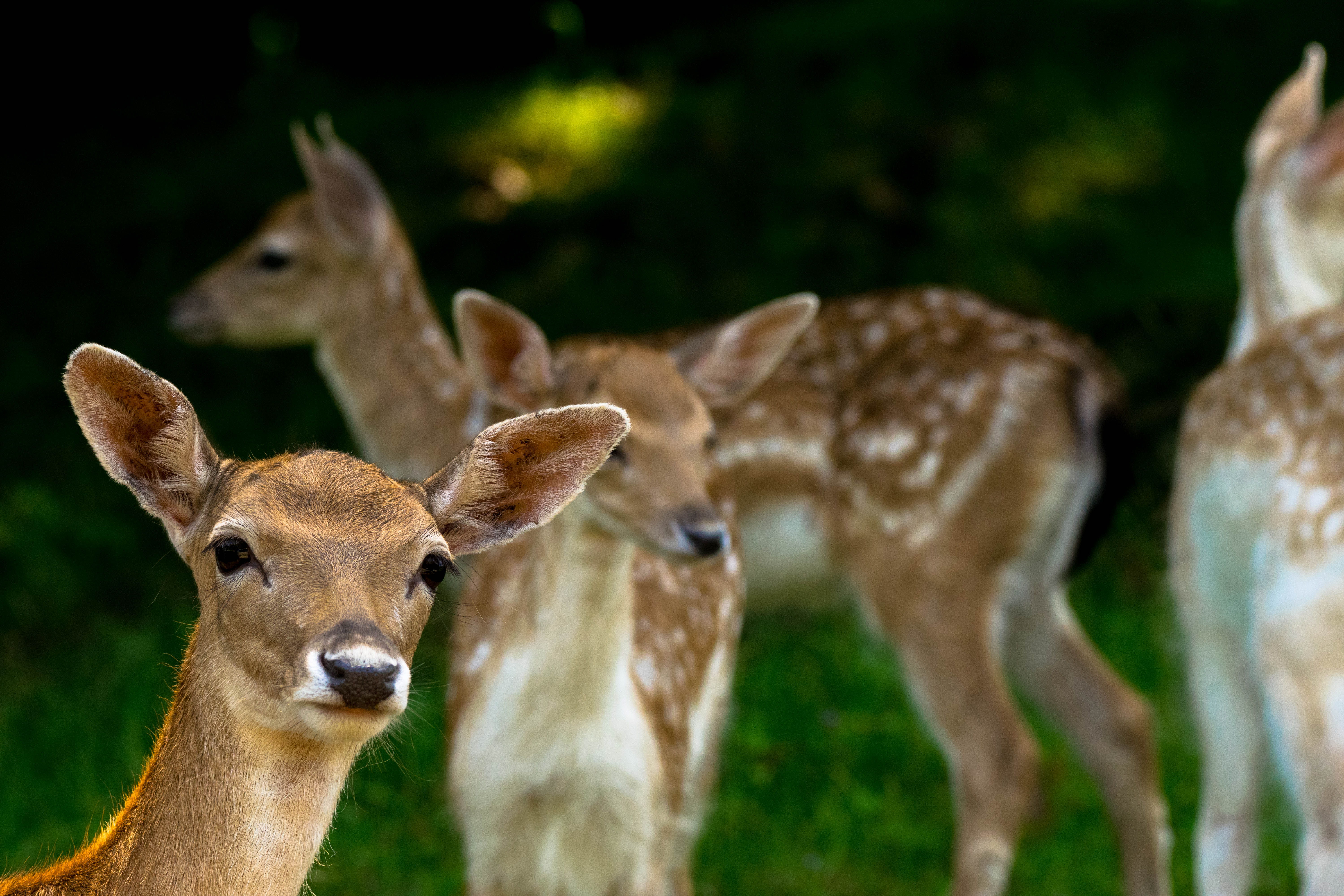 Herd of white tailed deer at Parc Omega