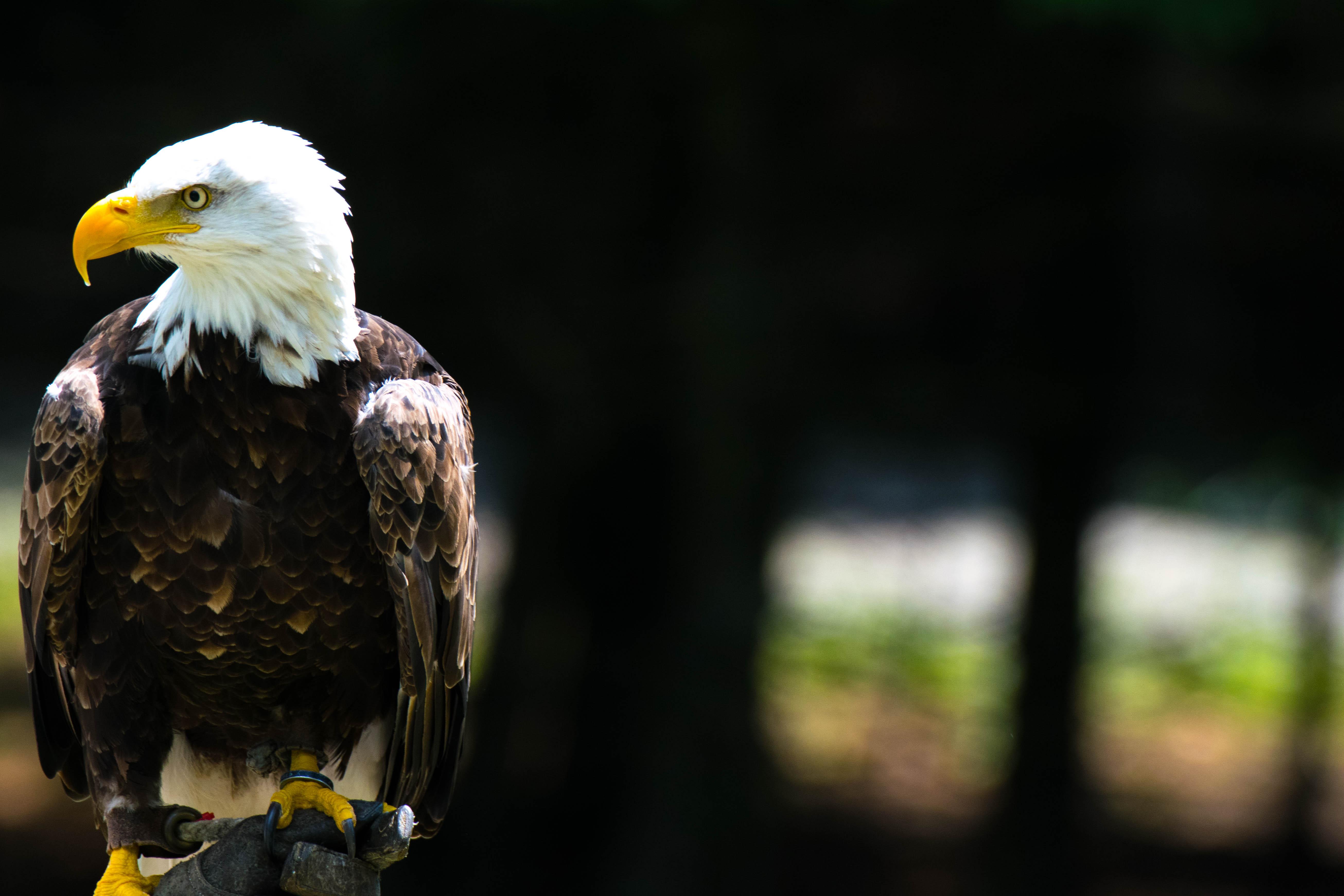 Bald Eagle sitting on a branch at Parc Omega
