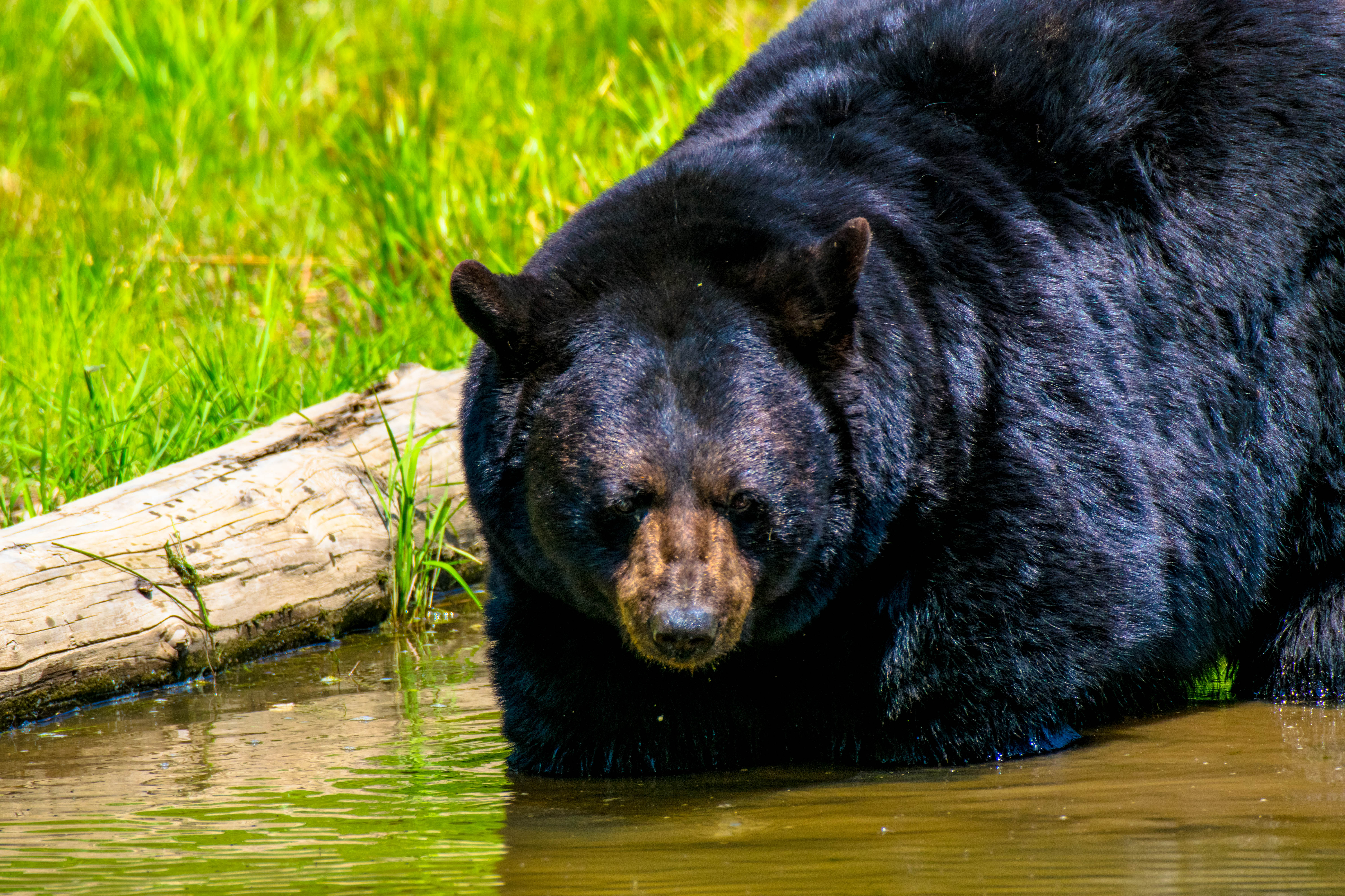 Black bear in the water on a summers day at Parc Omega