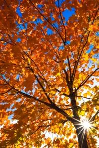 Sunburst through orange leaves on a tree at Hog's Back Falls