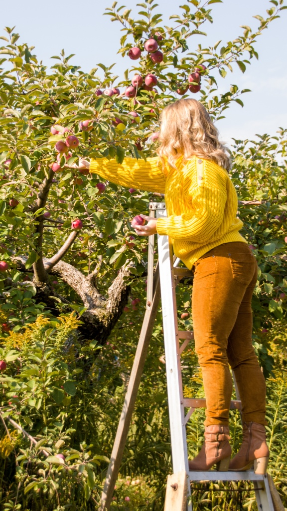 Woman in yellow sweater and brown corduroy pants picking apples from a ladder