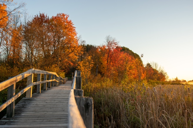 Mer Bleue Bog at sunrise and golden hour with fall foliage and the boardwalk