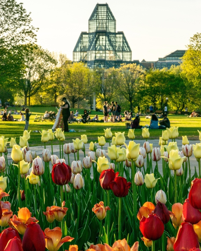 Tulip bed at Major's Hill Park for Ottawa Tulip Fest