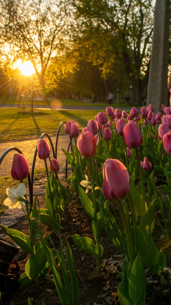 Tulip bed at Commissioner's Park during Golden Hour for Ottawa Tulip Fest