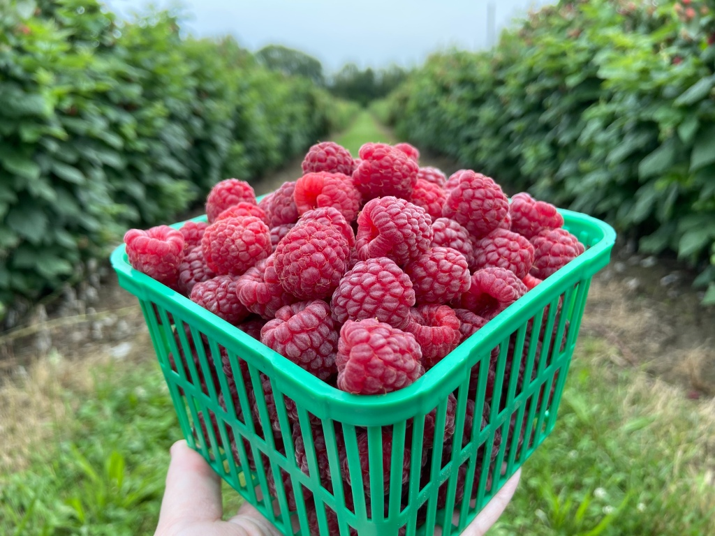 Raspberries in a green berry picking container at berry picking farm