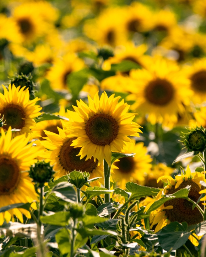 Sunflower field in Ottawa Ontario