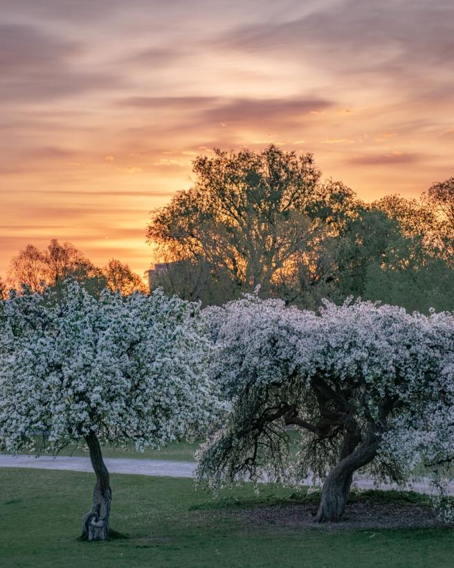 Pink and orange sunrise over cherry blossoms in the Ottawa Arboretum