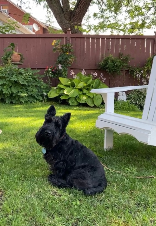 Scottish Terrier in front of an Adirondack chair