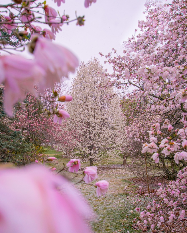 Cherry blossom trees in the spring at the Arboretum
