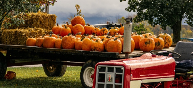 Antique red tractor in front of a trailer of pumpkins